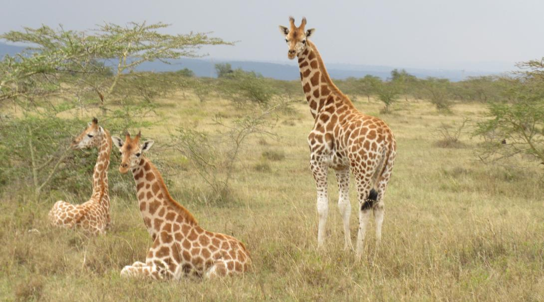 Volunteers spot a group of endangered Rothschild's Giraffes at Soysambu in Kenya.